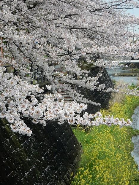 写真: DSCN1756 桜と菜の花