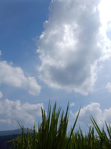 写真: 12青空と稲
