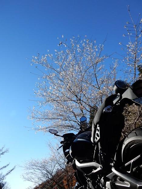写真: 四季桜と