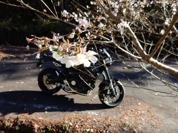 写真: 四季桜越し