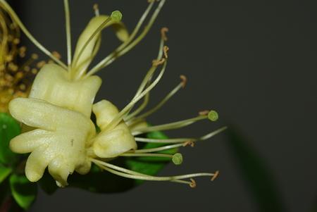 天津感冒片や涼解楽にも配合される金銀花