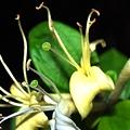 写真: 天津感冒片や涼解楽にも配合される金銀花