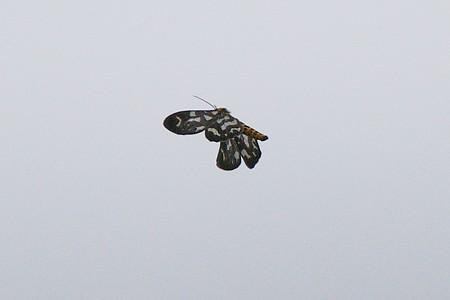 曇天の空に舞う蝶の名は?