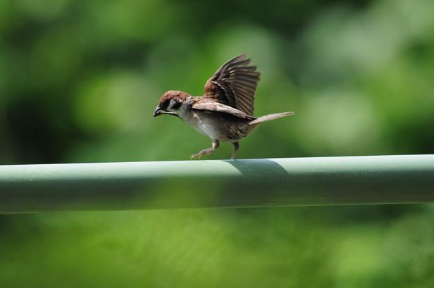 写真: 秋吉台のスズメのボクチン