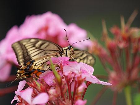 美しいアゲハチョウ