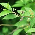 写真: ヤマトシジミのランデブー