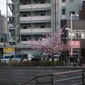 写真: 晴空塔旁櫻花