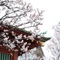 写真: 神明田神社梅花