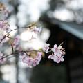 写真: 東京大神宮櫻花