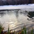 写真: 菖蒲池も氷が解けて~カモさん達の姿も~♪