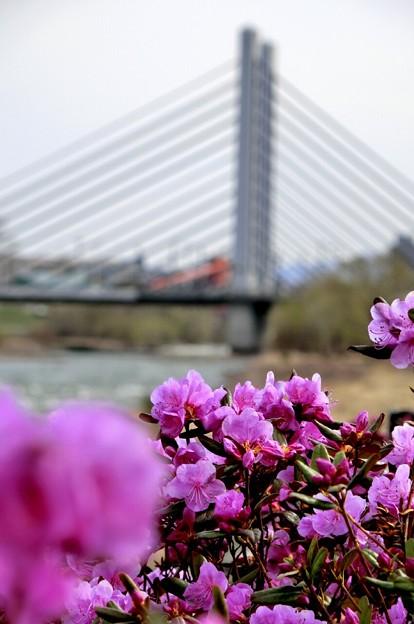 吊り橋とピンクのツツジ~♪