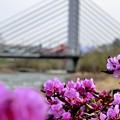 写真: 吊り橋とピンクのツツジ~♪