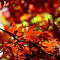 写真: 初夏の赤い紅葉は輝いて~♪