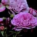 写真: 蕾に支えながら咲いて~今日、退院しました~(´▽`)ノ
