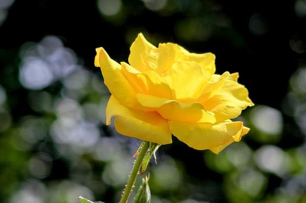 Photos: 秋薔薇は黄色がお似合い~♪
