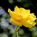 秋薔薇は黄色がお似合い~♪