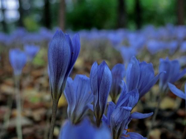 10月に咲くブルーの花~♪