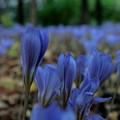 写真: 10月に咲くブルーの花~♪