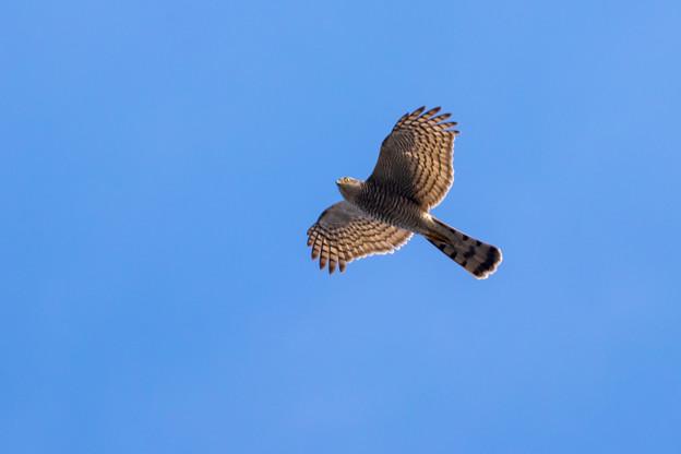 青空を飛ぶタカ