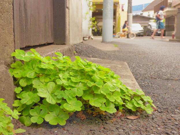 写真: 我が家門前の道端のクローバー(2)