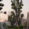写真: 夜明けのニホンエノキ