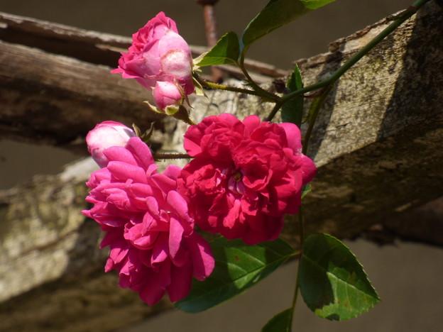 バラ棚からひょっこり花が…