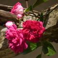 写真: バラ棚からひょっこり花が…