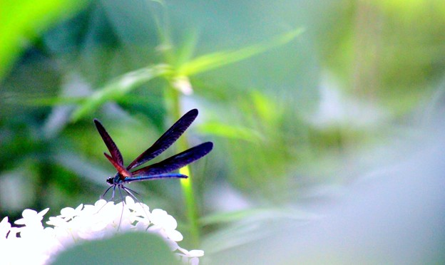 写真: 紫陽花の詩