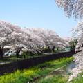 写真: 川べりの桜並木