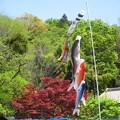 写真: 新緑と鯉のぼり