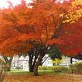 Photos: モミジの木