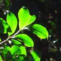 写真: ヒサカキの葉