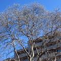 写真: シモクレンの花芽
