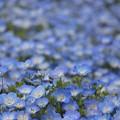写真: 可愛い花ネモフィラ♪