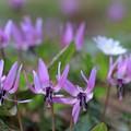 写真: 春の女王カタクリ♪