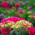 赤い紫陽花♪