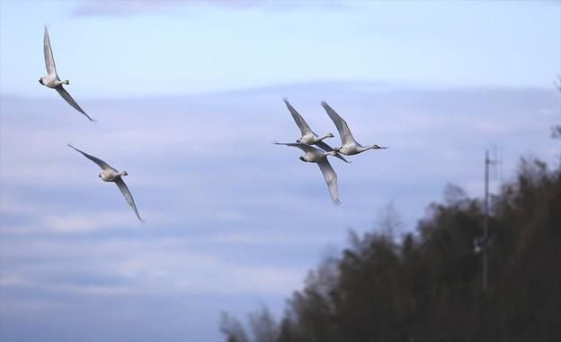 写真: 白鳥が飛んできた♪