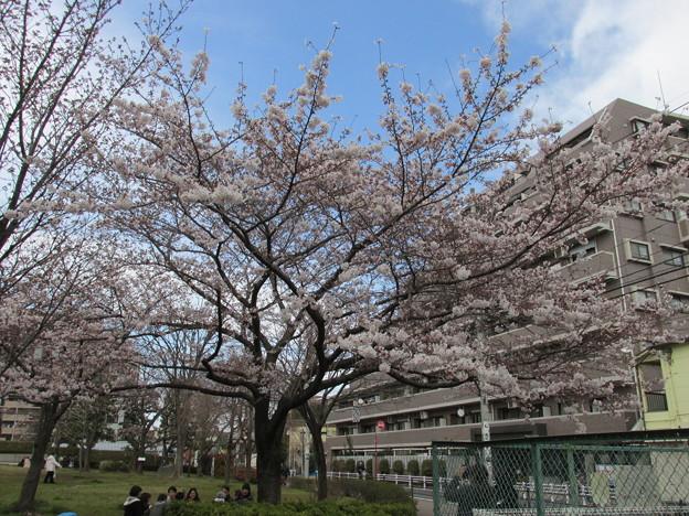 0204区役所桜五分咲