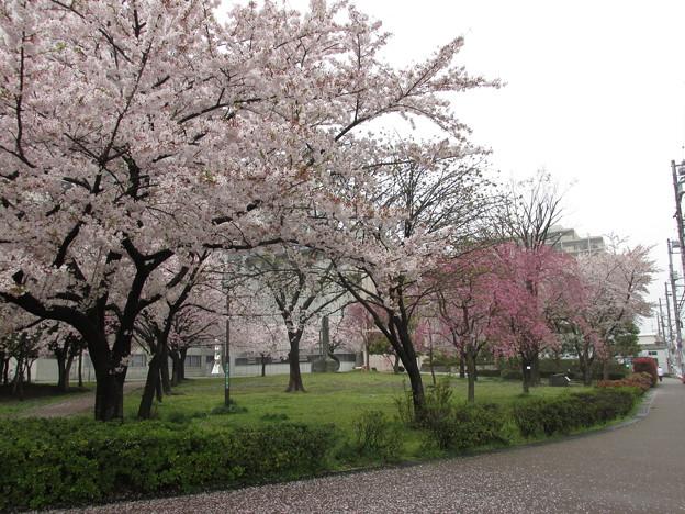 0901区役所桜1