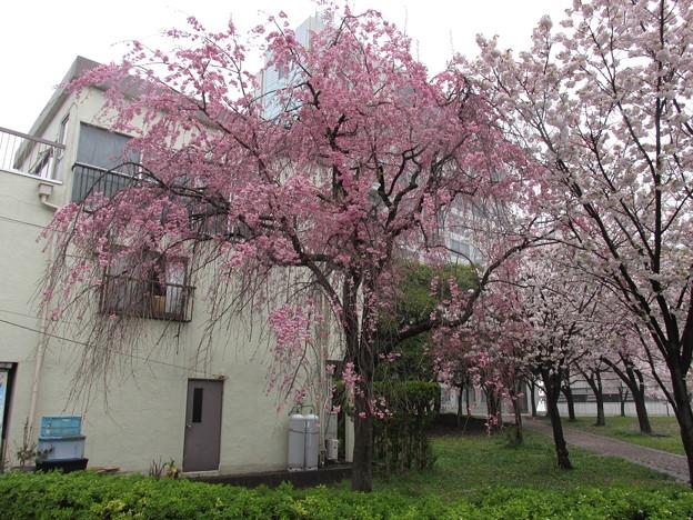 0902区役所桜2枝垂桜