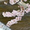 Photos: さくら咲く