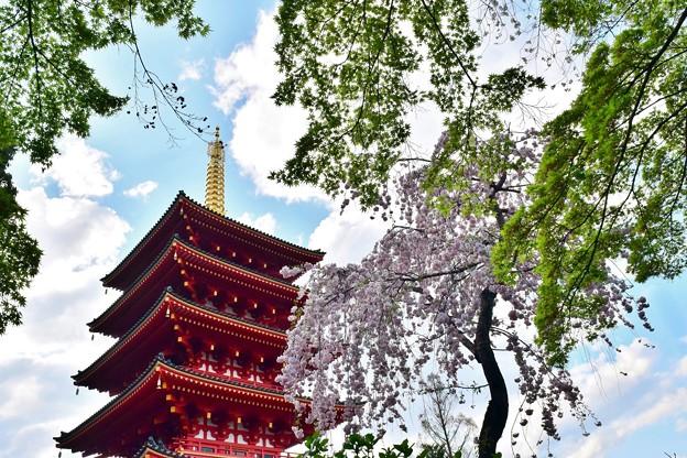 Photos: 桜と新緑もみじ