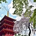 桜と新緑もみじ