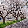 写真: 葉桜の路