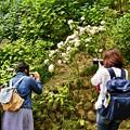 写真: Hydrangea women