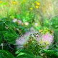 写真: delight(Silk tree)