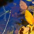 写真: 霜月の糸とんぼ