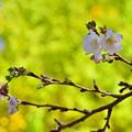 写真: 十月桜