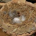 写真: 祝、一個目産卵