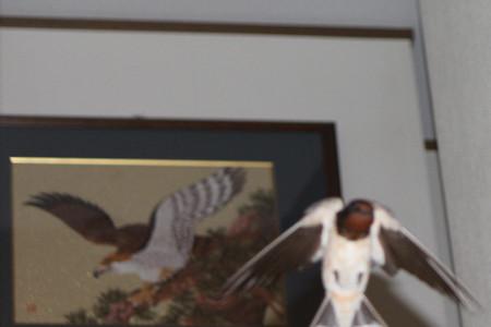 鷹とツバメ